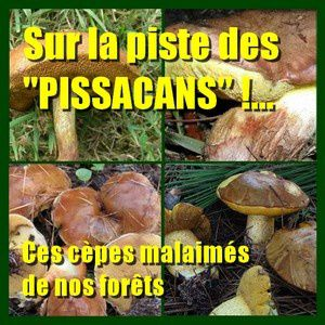 Champignons pissacans suillius in natures paul kei-copie-1
