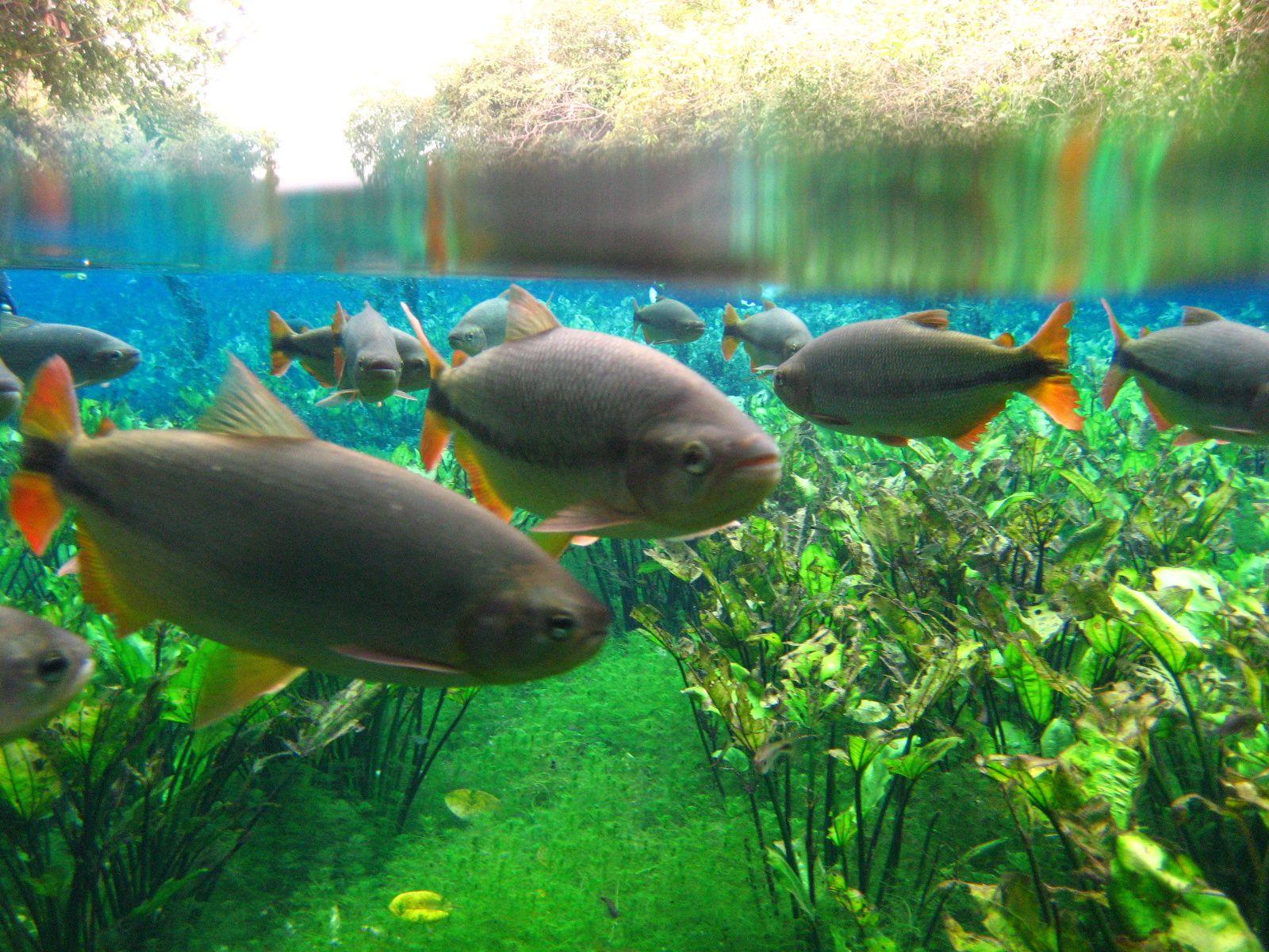 AQUÁRIO NATURAL:  Après une promenade en nature, on arrive au point où naît le Rio Baia Bonita où vous verrez les merveilles de la faune et de la flore sub-aquatique.Dans ces eaux cristallines, vous flotterez avec pour compagnie une grande variété de poissons et plantes aquatiques. Et pour compléter l'émotion, vous jouerez sur un super aqua-jump (lit élastique pose sur la rivière) est une amusante tyrolienne sur la rivière. Distance depuis le centre-ville: 07 km Durée: demi-journée Ce qu'il vous faut apporter : vêtements de rechange, maillot de bain, serviette, tongs, écran solaire et anti-moustique