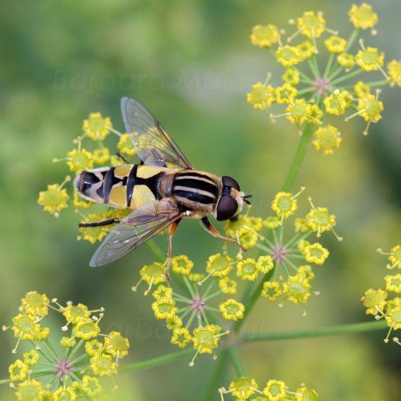 Pollinisateurs I