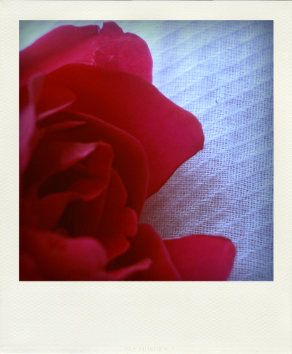 ROSES ROUGES (3)