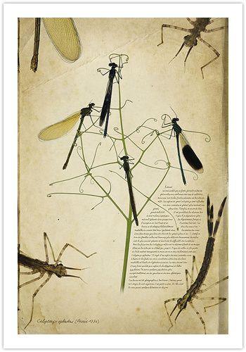 Calopteryx-splendens-350.jpg