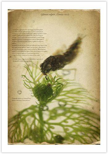 Ephemera-vulgata-larve-350.jpg