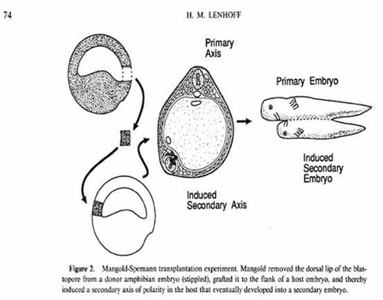 evolution-deuxieme-embryon-par-l-implantation-de-l-or.JPG