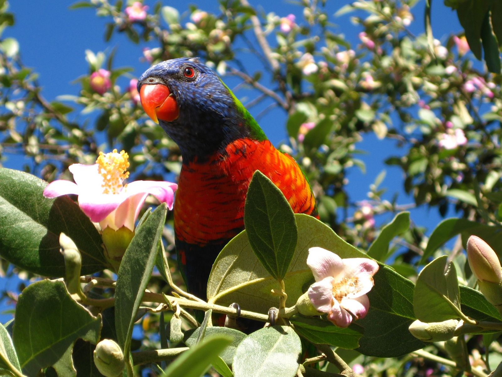 the rainbow lorikeet and the sulphur Rainbow lorikeets also need their diet supplemented with fresh fruit and vegetables on a daily basis spinach or silverbeet leaves are important to provide calcium for the bird spinach or silverbeet leaves are important to provide calcium for the bird.