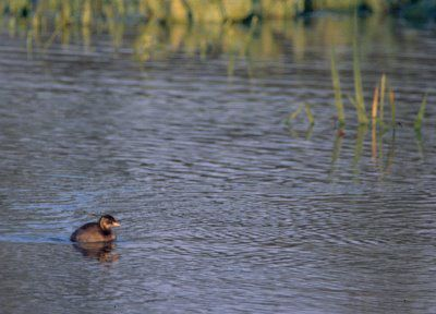 Grebe-castagneux1.jpg