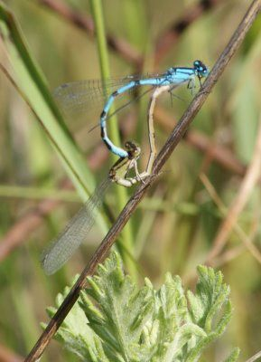 accouplement-agrion-porte-coupe.jpg