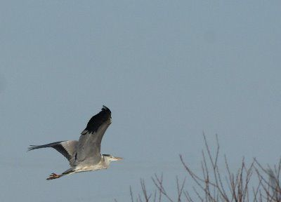 heron-cendre-pagny-le-cuvelot02.jpg