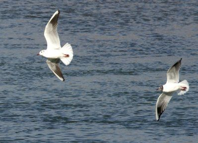 mouette rieuse pagny le cuvelot12