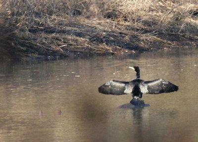 Grand-cormoran-dom-ban-de-toul01.jpg