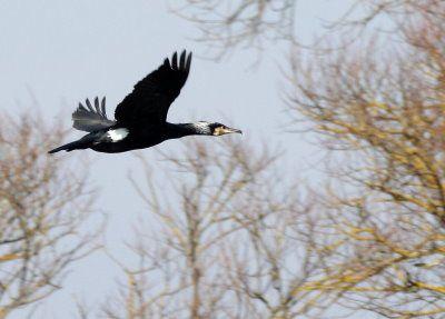 Grand cormoran dom ban de toul17