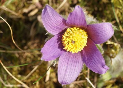 anemone-pulsatille-pagny-le-mont15.jpg