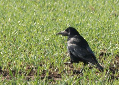 corbeaux freux dom les essarts01
