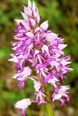 orchis-militaire-harouin.jpg
