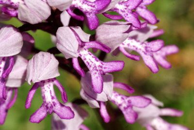 orchis-militaire-pagny-mont01.jpg