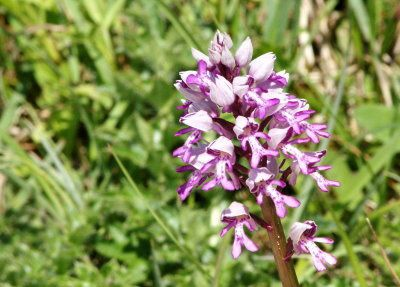orchis-militaire-pagny-mont02.jpg