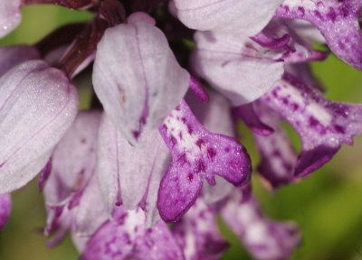 orchis-militaire-pagny-mont03.jpg