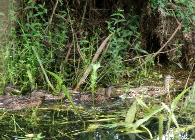 famille-canard-colvert-pagny.jpg