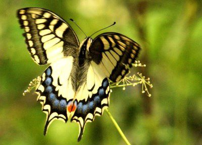 machaon bois de void10
