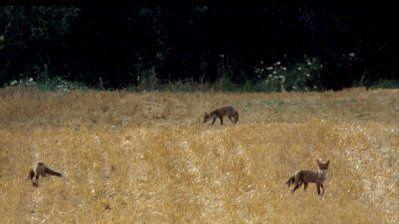 renards-dans-les-chaumes.jpg