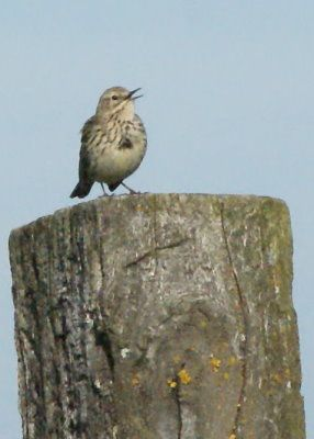 pipit-des-arbres-pagny-troussey.jpg