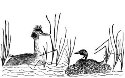dessin-rencontre-grebes-huppe-et-castagneux.jpg