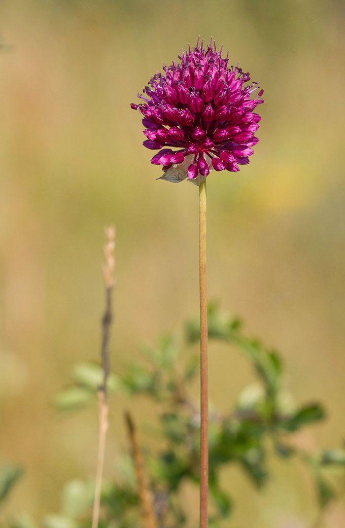 ail sauvage - Flore de la forêt de Fontainebleau