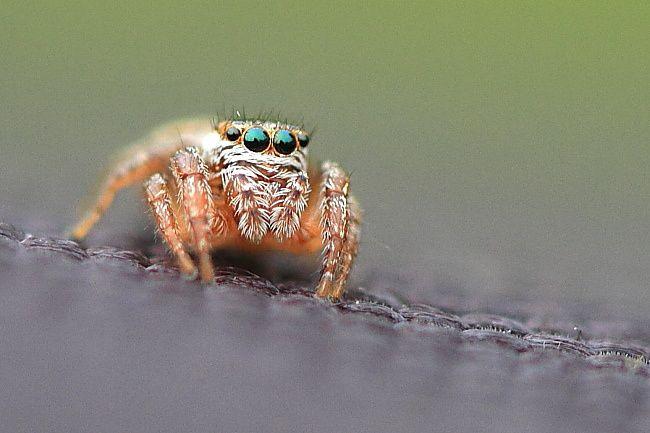 Saltique araignée sauteuse