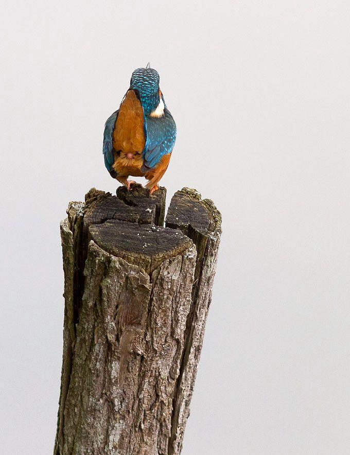 martin pêcheur - Oiseaux de la forêt de Fontainebleau