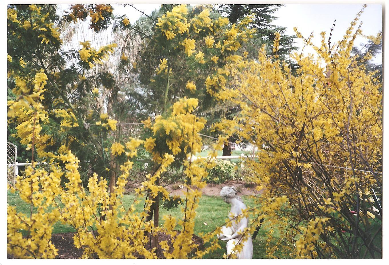 mimosa-et-fortitia-jardin-2.jpg