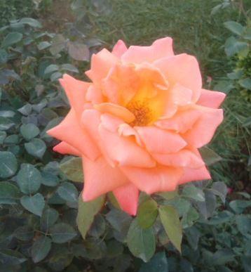 Une-Rose.N-6577.JPG