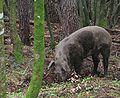 cochon_sauvage_1.jpg