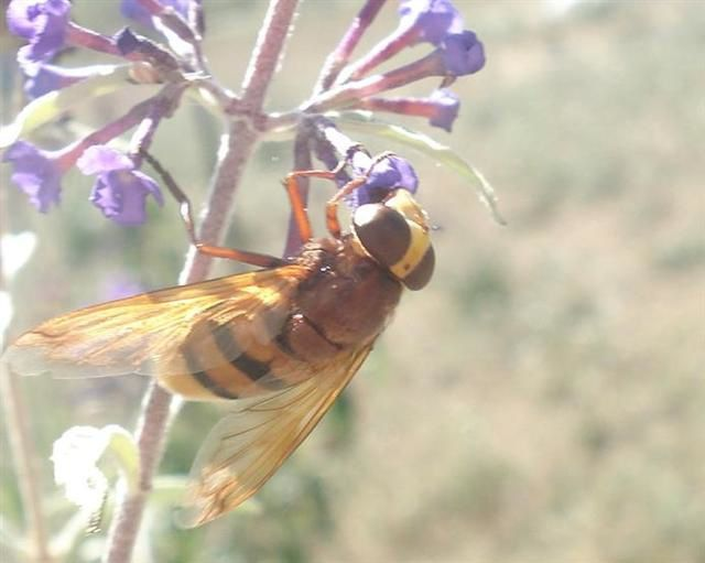 syrphe volucella sept 2010 (Small)