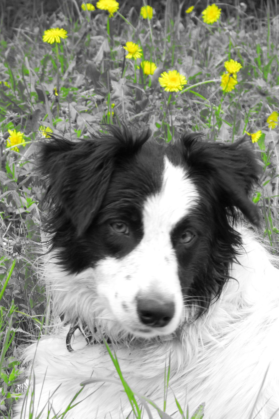 Album - le border collie