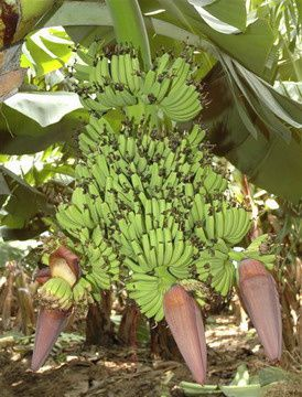 banane-martinique.JPG