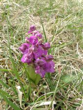 Orchis-bouffon1.jpg