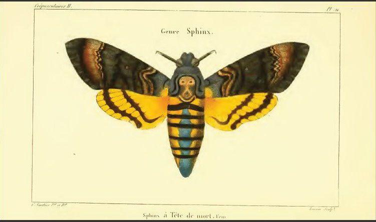 Histoire des noms fran ais de papillon iii j b godart le blog de jean yves cordier - Signification papillon de nuit ...