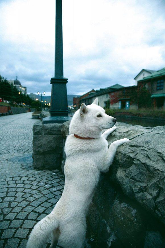 hokkaido ken blanc chien japonais