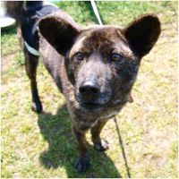 kai-ken-cross-breed-japan-rescue.jpg