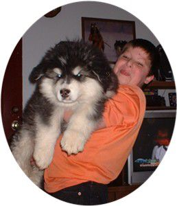 chiot-giant-malamute-copie-1