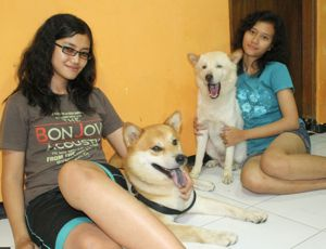 shiba-inu-very-big-and-kintamani-dog