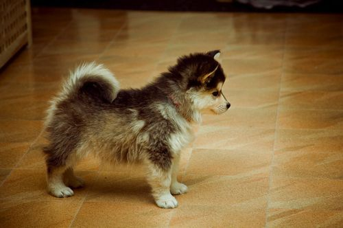 pomsky chien dog rare breed