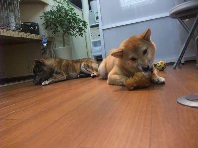 brindle bringé chien rare japonais japon