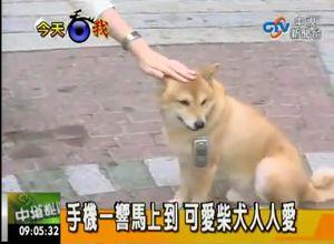 shiba-inu-reportage-tele.jpg