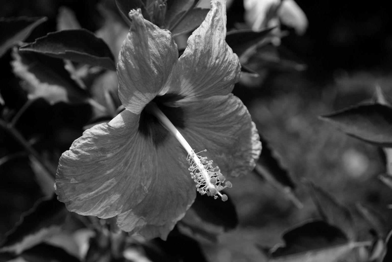 hibiscus0