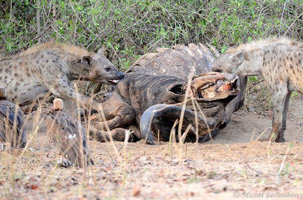hyene1