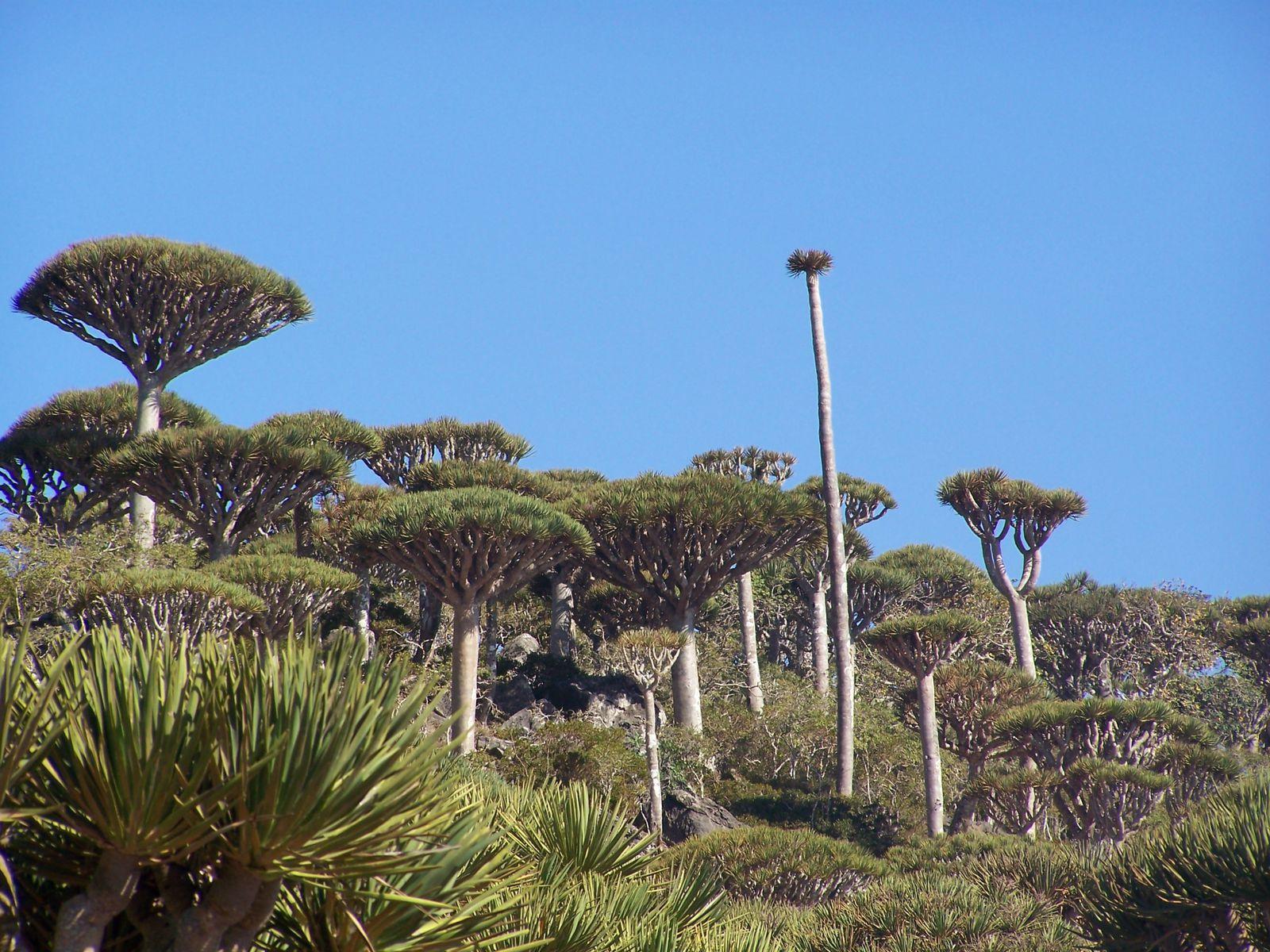 Forêt primaire sèche de Sang Dragon, l'arbre mythique et emblématique de Socotra.