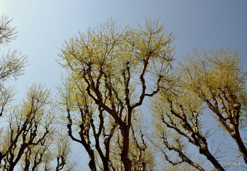 PhotOpus-premieres-feuilles-platanes.JPG
