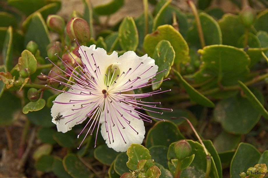 PhotOpus-Capparis-spinosa-etat-sauvage.jpg