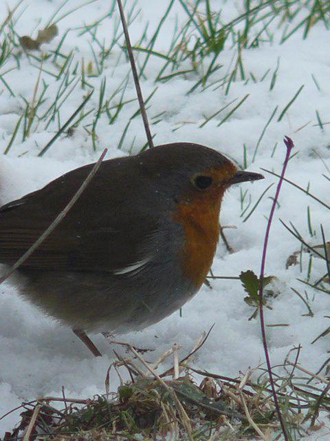 Album oiseaux de nos jardins pictures for Oiseaux de nos jardins