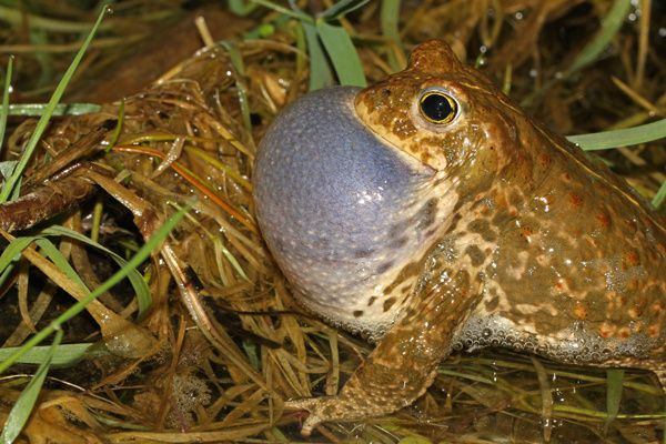 Crapaud calamite chant calendrier avril Yves THONNERIEUX